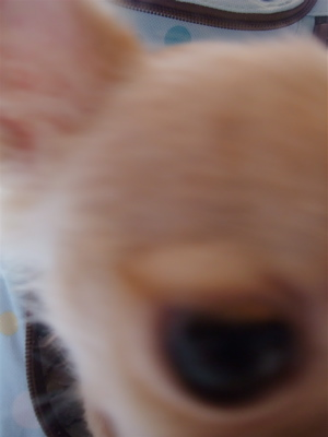 ビションフリーゼ こいぬ情報 子犬情報 仔犬情報 東京 文京区 駒込 フントヒュッテ hundehutte トリミングサロン ビションカット チワワ 犬グッズ 3.jpg