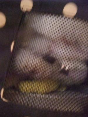 ビションフリーゼ こいぬ情報 子犬情報 仔犬情報 東京 文京区 駒込 フントヒュッテ hundehutte トリミングサロン ビションカット アフロ おにぎりヘアー 117.jpg