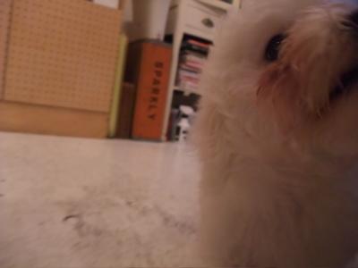 ビションフリーゼおんなのこおとこのここいぬ子犬赤ちゃんあかちゃん出産ブリーダー東京フントヒュッテhundehutte文京区トリミングサロンビションカットアフロカット7.jpg