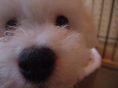 ビションフリーゼブリーダー出産こいぬ子犬東京フントヒュッテ文京区トリミングサロンビションカットアフロカットフントヒュッテオリジナルハーネスリードカラー2.jpg