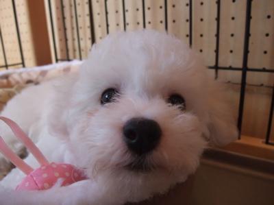 ビションフリーゼブリーダー出産こいぬ子犬東京フントヒュッテ文京区トリミングサロンビションカットアフロカットフントヒュッテオリジナルハーネスリードカラー3.jpg
