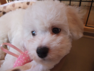ビションフリーゼブリーダー出産こいぬ子犬東京フントヒュッテ文京区トリミングサロンビションカットアフロカットフントヒュッテオリジナルハーネスリードカラー4.jpg