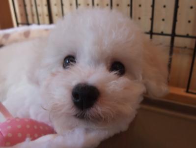 ビションフリーゼブリーダー出産こいぬ子犬東京フントヒュッテ文京区トリミングサロンビションカットアフロカットフントヒュッテオリジナルハーネスリードカラー5.jpg