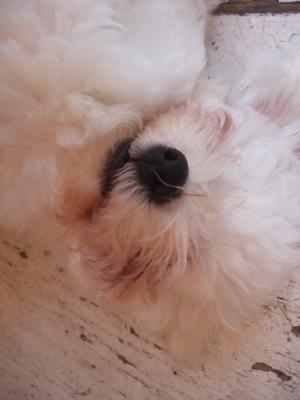 ビションフリーゼブリーダー出産こいぬ子犬東京フントヒュッテ文京区トリミングサロンビションカットアフロカットブラッシングローレンススリッカーブラシ4.jpg