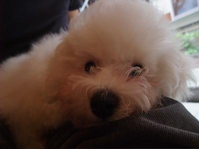 ビションフリーゼブリーダー出産こいぬ子犬東京フントヒュッテ文京区トリミングサロンビションカットアフロカットブラッシングローレンススリッカーブラシ10.jpg