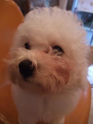 イングリッシュセッタートリミングビションフリーゼブリーダー出産こいぬ赤ちゃん子犬東京フントヒュッテ文京区トリミングサロンビションカットアフロカット5.jpg