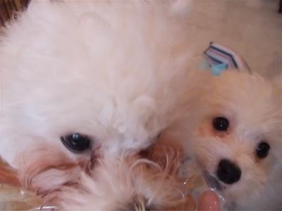 ビションフリーゼブリーダー出産赤ちゃん子犬東京フントヒュッテhundehutte文京区トリミングサロンビションカットアフロカット毛量の多いビション職人の味牛アキレス3.jpg