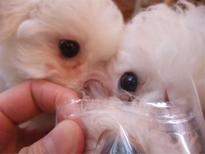 ビションフリーゼブリーダー出産赤ちゃん子犬東京フントヒュッテhundehutte文京区トリミングサロンビションカットアフロカット毛量の多いビション職人の味牛アキレス6.jpg