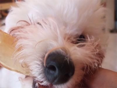ビションフリーゼブリーダー出産赤ちゃん子犬東京フントヒュッテhundehutte文京区トリミングサロンビションカットアフロカット毛量の多いビション職人の味牛アキレス7.jpg