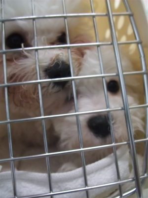 ビションフリーゼブリーダー出産赤ちゃん子犬東京フントヒュッテhundehutte文京区トリミングサロンビションカットアフロカット毛量の多いビション混合ワクチン接種6.jpg