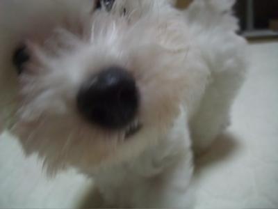 ビションフリーゼブリーダー子犬東京フントヒュッテ文京区トリミングサロンビションカット毛量の多いビション混合ワクチン接種ノミダニフィラリア予防hundehutte7.jpg