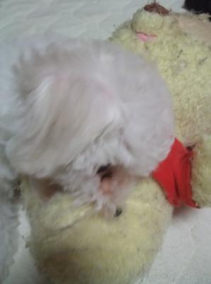 ビションフリーゼブリーダー子犬東京フントヒュッテ文京区トリミングサロンビションカット毛量の多いビション混合ワクチン接種ノミダニフィラリア予防hundehutte9.jpg