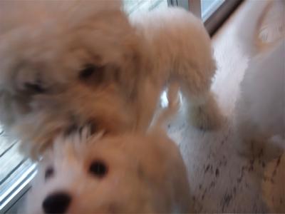 ビションフリーゼブリーダーこいぬ出産子犬東京フントヒュッテ文京区トリミングサロンビションカットアフロカットデンタルケア犬歯みがき毛量の多いビション7.jpg
