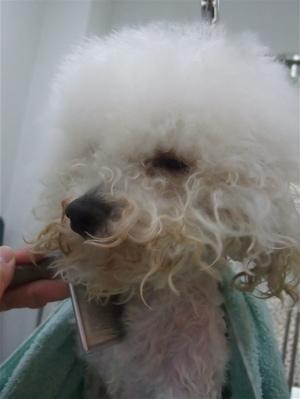 ビションフリーゼブリーダー毛量の多いビションこいぬ出産子犬東京フントヒュッテ文京区トリミングサロンビションカットアフロカットデンタルケア犬歯みがき4.jpg