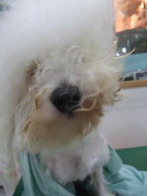 ビションフリーゼブリーダー毛量の多いビションこいぬ出産子犬東京フントヒュッテ文京区トリミングサロンビションカットアフロカットデンタルケア犬歯みがき7.jpg