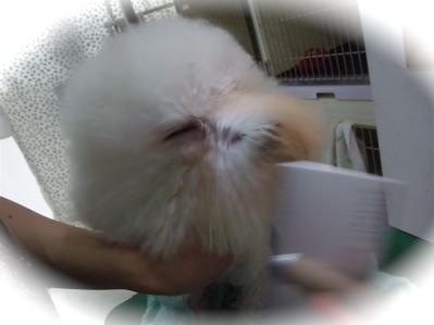 ビションフリーゼブリーダー毛量の多いビションこいぬ出産子犬東京フントヒュッテ文京区トリミングサロンビションカットアフロカットデンタルケア犬歯みがき8.jpg