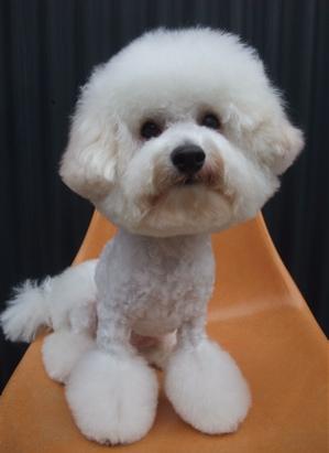 ビションフリーゼブリーダー毛量の多いビションこいぬ出産子犬東京フントヒュッテ文京区トリミングサロンビションカットアフロカットデンタルケア犬歯みがき10.jpg