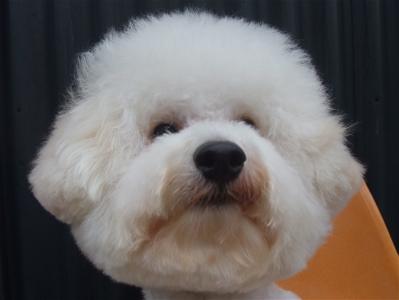 ビションフリーゼブリーダー毛量の多いビションこいぬ出産子犬東京フントヒュッテ文京区トリミングサロンビションカットアフロカットデンタルケア犬歯みがき12.jpg