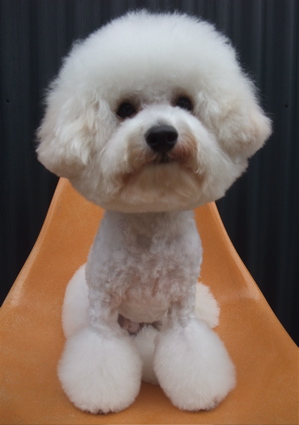 ビションフリーゼブリーダー毛量の多いビションこいぬ出産子犬東京フントヒュッテ文京区トリミングサロンビションカットアフロカットデンタルケア犬歯みがき13.jpg