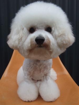ビションフリーゼブリーダー毛量の多いビションこいぬ出産子犬東京フントヒュッテ文京区トリミングサロンビションカットアフロカットデンタルケア犬歯みがき14.jpg