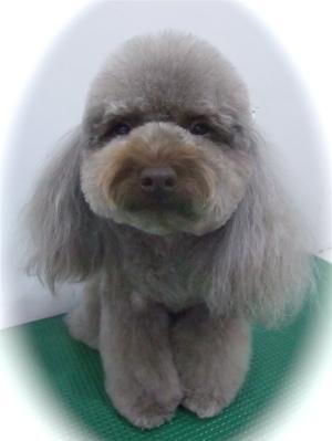 トイプードルカットトリミングサロン文京区アフロカットテディベアカットフントヒュッテhundehutte東京ビションフリーゼブリーダー毛量の多いビション出産子犬1.jpg