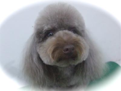 トイプードルカットトリミングサロン文京区アフロカットテディベアカットフントヒュッテhundehutte東京ビションフリーゼブリーダー毛量の多いビション出産子犬2.jpg