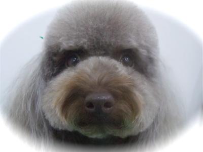 トイプードルカットトリミングサロン文京区アフロカットテディベアカットフントヒュッテhundehutte東京ビションフリーゼブリーダー毛量の多いビション出産子犬3.jpg
