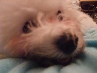 国産犬のおやつわんわん牛皮ガムツイストビションフリーゼブリーダーこいぬ出産子犬東京フントヒュッテ文京区トリミングサロンビションカット毛量の多いビション2.jpg