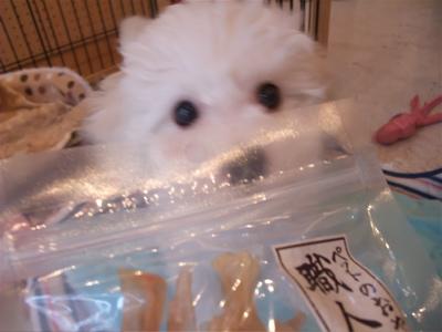 ビションフリーゼブリーダー出産子犬東京フントヒュッテ文京区トリミングサロンビションカットアフロカットデンタルケア毛量の多いビション職人の味牛アキレス3.jpg