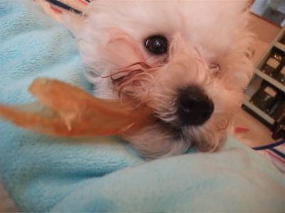 ビションフリーゼブリーダー出産子犬東京フントヒュッテ文京区トリミングサロンビションカットアフロカットデンタルケア毛量の多いビション職人の味牛アキレス7.jpg