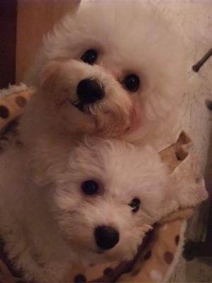 ビションフリーゼブリーダーこいぬ赤ちゃん出産子犬東京フントヒュッテhundehutte文京区トリミングサロンビションカットアフロカット毛量の多いビション良血統1.jpg