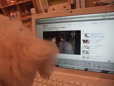 ビションフリーゼブリーダーこいぬ赤ちゃん出産子犬東京フントヒュッテhundehutte文京区トリミングサロンビションカットアフロカット毛量の多いビション良血統2.jpg