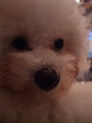 ビションフリーゼブリーダーこいぬ赤ちゃん出産子犬東京フントヒュッテhundehutte文京区トリミングサロンビションカットアフロカット毛量の多いビション良血統4.jpg