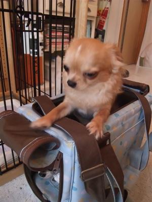 チワワビションフリーゼブリーダーこいぬ出産子犬東京フントヒュッテhundehutte文京区トリミングサロンビションカットアフロカット良血統ビション毛量の多いビション1.jpg