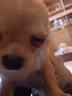 チワワビションフリーゼブリーダーこいぬ出産子犬東京フントヒュッテhundehutte文京区トリミングサロンビションカットアフロカット良血統ビション毛量の多いビション9.jpg