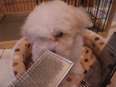 ビションフリーゼブリーダー子犬出産東京フントヒュッテ文京区トリミングサロンビションカットアフロカットブラッシングコーミング良血統毛量の多いビション1.jpg
