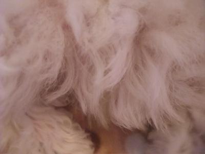 ビションフリーゼブリーダー子犬出産東京フントヒュッテ文京区トリミングサロンビションカットアフロカットブラッシングコーミング良血統毛量の多いビション5.jpg