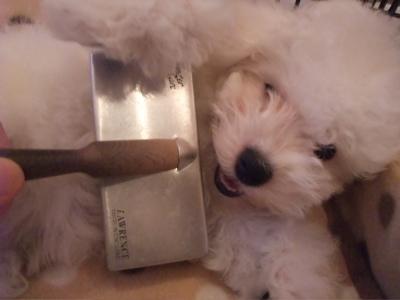 ビションフリーゼブリーダー子犬出産東京フントヒュッテ文京区トリミングサロンビションカットアフロカットブラッシングコーミング良血統毛量の多いビション10.jpg