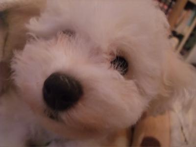 ビションフリーゼブリーダー子犬出産東京フントヒュッテ文京区トリミングサロンビションカットアフロカットブラッシングコーミング良血統毛量の多いビション11.jpg