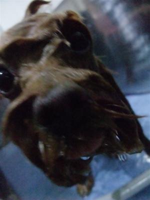 プードルカットテディベアカットビションフリーゼブリーダー子犬東京フントヒュッテ文京区トリミングサロンビションカットアフロカット毛量の多いビション2.jpg