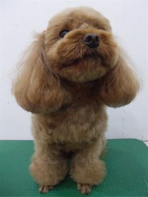 プードルカットテディベアカットビションフリーゼブリーダー子犬東京フントヒュッテ文京区トリミングサロンビションカットアフロカット毛量の多いビション3.jpg