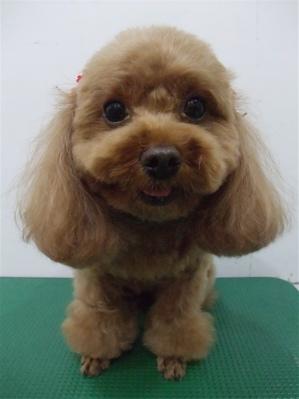 プードルカットテディベアカットビションフリーゼブリーダー子犬東京フントヒュッテ文京区トリミングサロンビションカットアフロカット毛量の多いビション4.jpg