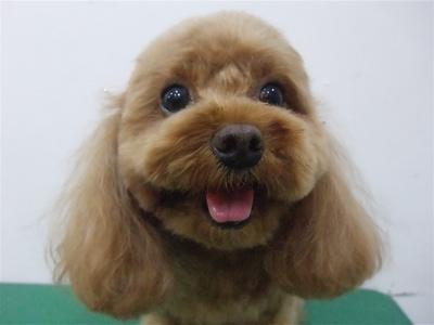 プードルカットテディベアカットビションフリーゼブリーダー子犬東京フントヒュッテ文京区トリミングサロンビションカットアフロカット毛量の多いビション5.jpg