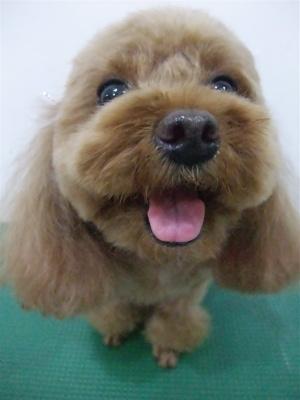 プードルカットテディベアカットビションフリーゼブリーダー子犬東京フントヒュッテ文京区トリミングサロンビションカットアフロカット毛量の多いビション7.jpg