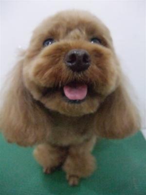 プードルカットテディベアカットビションフリーゼブリーダー子犬東京フントヒュッテ文京区トリミングサロンビションカットアフロカット毛量の多いビション8.jpg