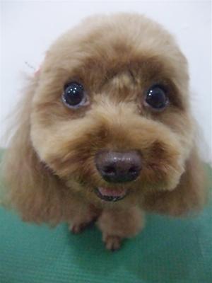 プードルカットテディベアカットビションフリーゼブリーダー子犬東京フントヒュッテ文京区トリミングサロンビションカットアフロカット毛量の多いビション9.jpg