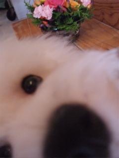 花のある暮らしフラワーアレンジメントビションフリーゼブリーダー子犬東京フントヒュッテ文京区トリミングサロンビションカットアフロカット毛量の多いビション3.jpg