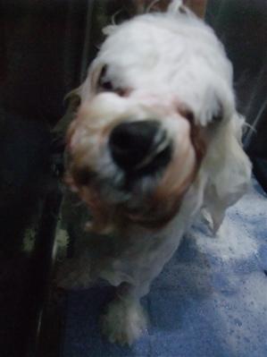 ビションフリーゼブリーダーこいぬ赤ちゃん子犬東京フントヒュッテhundehutte文京区トリミングサロンビションカットアフロカット良血統ビション毛量の多いビション5.jpg