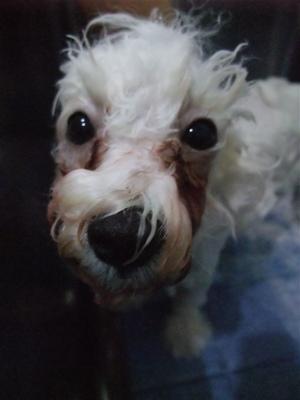 ビションフリーゼブリーダーこいぬ赤ちゃん子犬東京フントヒュッテhundehutte文京区トリミングサロンビションカットアフロカット良血統ビション毛量の多いビション6.jpg