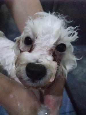 ビションフリーゼブリーダーこいぬ赤ちゃん子犬東京フントヒュッテhundehutte文京区トリミングサロンビションカットアフロカット良血統ビション毛量の多いビション7.jpg